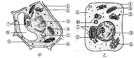 如果乙图所示的细胞是豚鼠的胰腺腺泡细胞,提供含放射